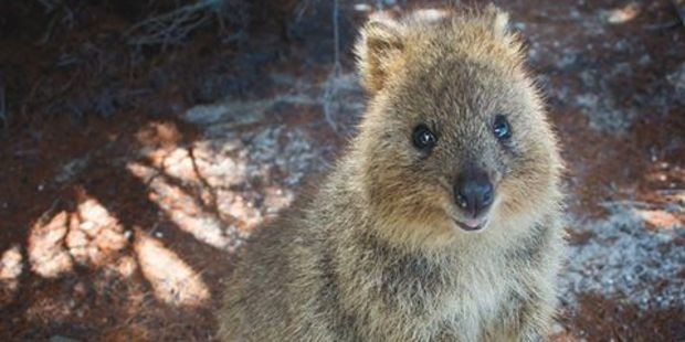 The hunt is on for Steve the rogue quokka that hitch-hiked from Rottnest Island. Photo / Facebook