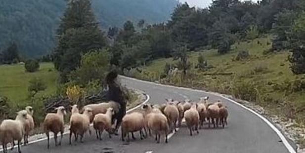 Loading A German shepherd was rammed to the floor by her flock after a car approached and startled them.