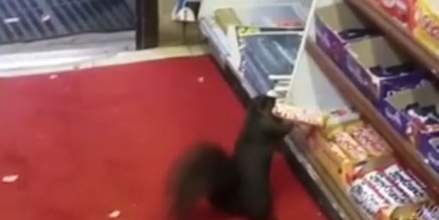 Loading The footage shows a squirrel stealing chocolate from a store in Toronto. Photo / Supplied