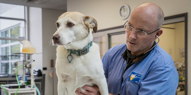Loading Dr Mark Robson says chunks of indigestible bone  can get stuck and pierce a pet's organ. Photo / Greg Bowker