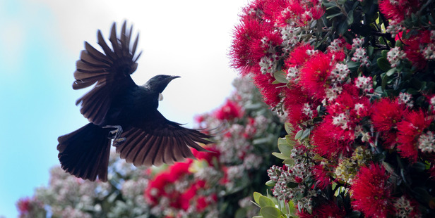 A tui enjoys eating nectar from pohutukawa flowers in Mt Maunganui beach. Photo / Alan Gibson