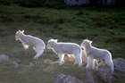 The resumption in lamb shipments to Iran promises to be the start of bigger trade, says Federated Farmers. Photo / Michael Craig