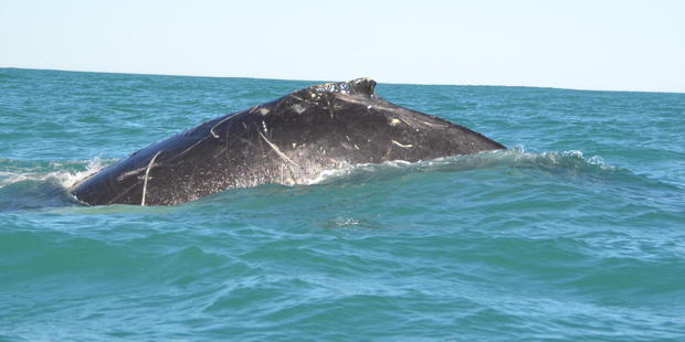 Loading The humpback spotted by passengers and crew on a Black Cat cruise in Akaroa yesterday. Photo/ Black Cat Cruises