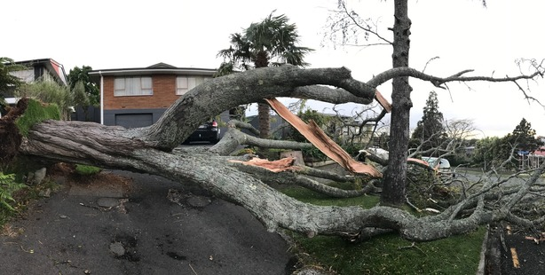 A tree in Glen Tce, Otumoetai, was one of several casualties of strong winds that hit the Tauranga area overnight.