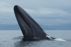 Blue whales can grow up to 30m in length and weigh 100 tonnes.