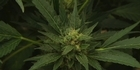 Watch: Focus: Cannabis medicinal properties proved
