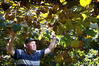 Welcome Bay kiwifruit grower Mike Smith is hoping his green kiwifruit will be harvested this week. Photo/John Borren