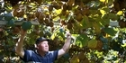 Cold snap worry for kiwifruit growers amid fears frosts could shut down vines before harvesting
