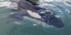 Locals tried to keep an orca alive overnight, but it died. File photo / Andrew Warner.