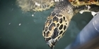 Watch: Watch: Endangered hawksbill turtle at rehabilitation centre