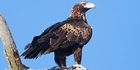 Watch: Listen: Only in Australia - Eagle vs Drone