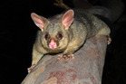 The ground-based possum control programme was being carried out as part of the national TBfree programme. Photo / File