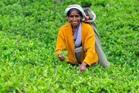 A worker picks tea leaves on a plantation in Nuwara Eliya, the heart of Sri Lanka's tea industry. Photo / 123RF