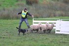 Stuart Millar and Tess (Glenroy) in action at this week's Tux North Island and New Zealand sheep dog trials championship. Photo/Gisborne Herald