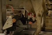 Robots are taking care of the entire milking process.