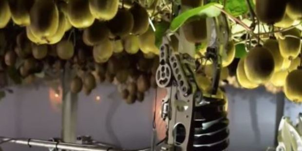 Loading The robot has been developed to help pick some of the more than 3 billion kiwifruit harvested in NZ each year. Photo / NZ Herald Focus