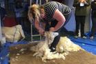 Niwa Dix on shearing duty for her team.
