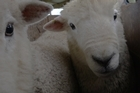 Breeding parasite resistant sheep.  Made with funding from NZ On Air.