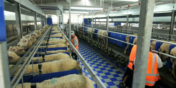 Milking sheep in a sheep-milking shed at the Spring Sheep Milk Company. Photo / Supplied