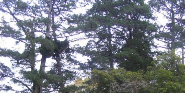 "Problematic pines: ""These 60-year-old exotic pine trees on my hillside are a curse on the landscape,"" says Rob Butcher. Photo/supplied"