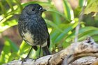 North Island robins are very friendly.