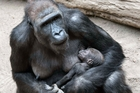 A newborn gorilla sleeps in the arms of her mother Kibara at a zoo in Leipzig, Germany. Photo / AP