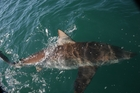 Bronze whaler sharks are coming right into the harbours and estuaries. Photo / Geoff Thomas