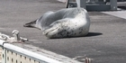 Watch: Watch: Leopard seal at Bayswater Marina