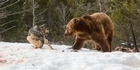 Watch: Watch: Wolf pack vs grizzly bear. Who wins?