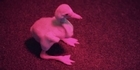 Watch: Watch: Flamingo chick hatches at Auckland Zoo