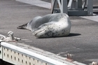Leopard seal that paid a visit to Bayswater Marina, Bayswater, Auckland.