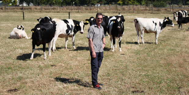 An AgResearch senior scientist Dr Goetz Laible, pictured with offspring of genetically-engineered cow Daisy. Photo / Katherine Tozer