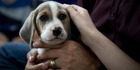 The super sniffer litter of future detector dogs are crosses between beagles and harrier hounds. If the new puppies pass their training, they will start work in 2018. Photo/Dean Purcell