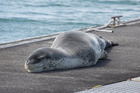 Owha the leopard seal, with a fishing hook lodged in its fin, lies in the sun on the refueling pontoon at Bayswater Marina in Auckland today. Photo / Brett Phibbs