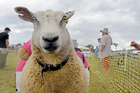 Sheep numbers have dropped by 5 per cent in the year to June.