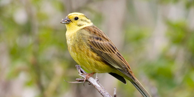 The colourful yellowhammer is a common inhabitant of open country throughout much of New Zealand. Photo / Tom Marshall
