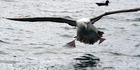 White-capped albatross are endemic to New Zealand and breed on the Auckland Islands in the Southern Ocean, 465km south of Bluff. Photo / File