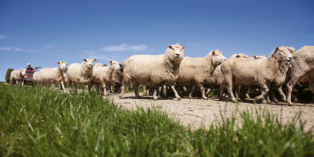 The country now has fewer than six sheep for each person.