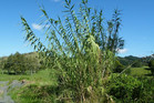 Giant reed, or Arundo donax, a problem plant in Northland, is about to meet its muncher - a double-pincer attack by an introduced galling wasp and scale insect.