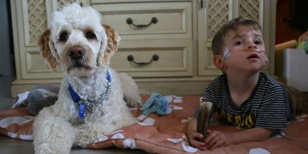 Mali the assistance dog with Frankie Watson. Photo / Ashleigh Collis