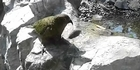 Watch: Watch: Wellington Zoo to open new walk-through kea aviary