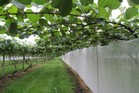 Kiwifruit crops are proving successful in Hawke's Bay after a large kiwifruit orchard property in Fernhill sold for a whopping 40.2 million before Christmas last year.