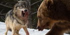 A trio of wolves are captured eating a deer in the snow. Photo /  Media Drum World / australscope