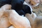 This is the incredible moment an injured dog led a vet three kilometres to an abandoned car where she had given birth to 10 puppies