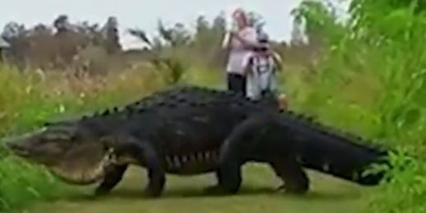 Loading A giant alligator has been captured on video crossing the path in a Florida reserve. Photo: Kim Joiner/Facebook
