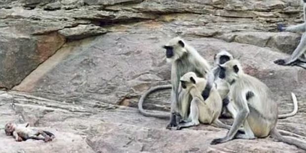 Loading The monkeys accepted a robot as one of their own. Photo / Spy In The Wild