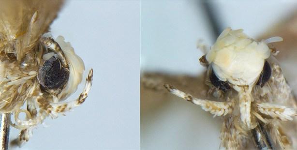 A close-up of the new moth species, Neopalpa donaldtrumpi, named after Donald Trump. Photo / Vazrick Nazari