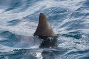 Residents in the suburb of Hillsborough spotted the shark this morning. Photo / 123rf