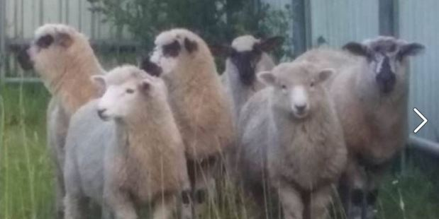 If these are your sheep, little Bo-Peep, then we've found them.  Photo / Facebook