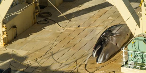 Protected Antarctic minke whale on the deck of the Japanese factory whaling ship, Nisshin Maru. Photo / Glenn Lockitch / Sea Shepherd Global